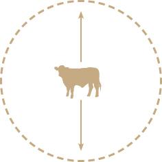 Cow-measurement