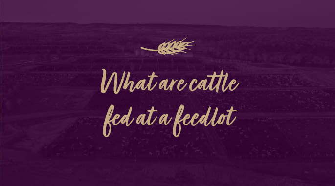 What-are-cattle-fed-at-a-feedlot