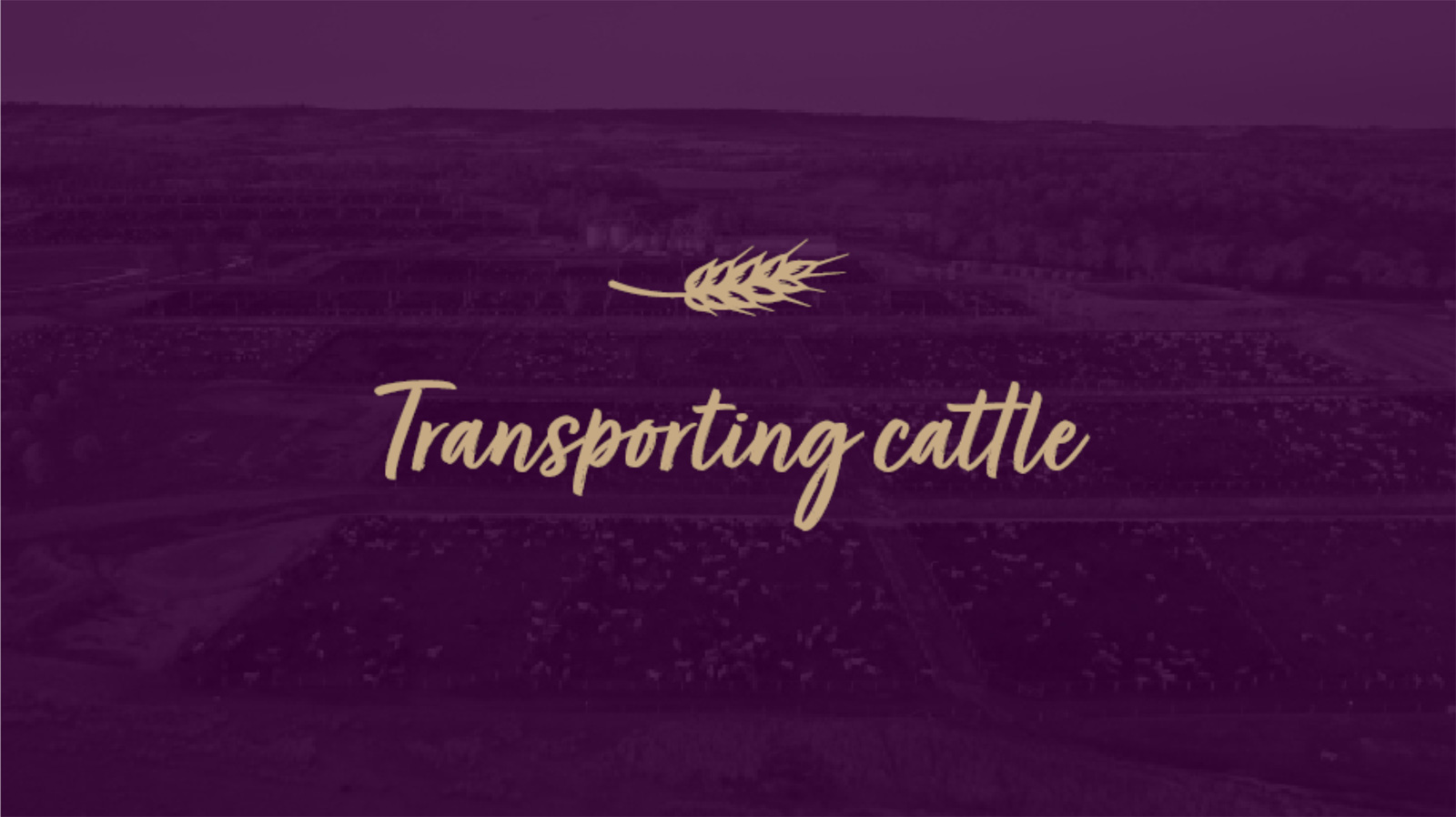 Transporting-Cattle