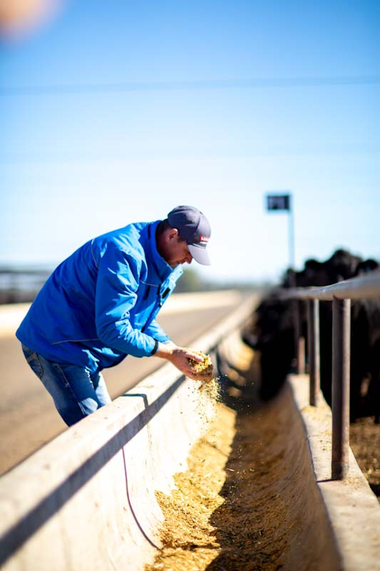 What cattle eat at a feedlot